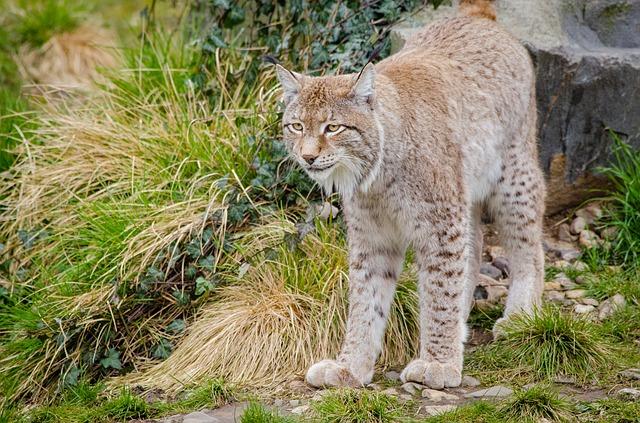 Lynx - Picbay